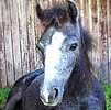 Celebrating Our Pets - Pony Pet Stories - Lady, a new filly pony