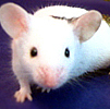 Pet Stories - Pet Mice - Celebrating Our Pets